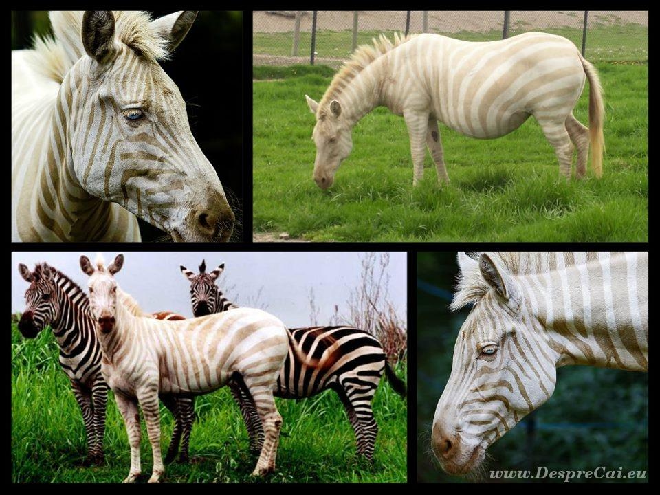 Zoe, zebra aurie_02