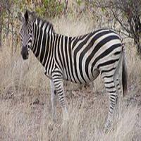 Zebră